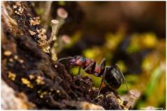 LR-fourmi-rousse-des-bois-Formica-rufa-bon-je-bouge-jai-des-copines-dns-les-jambes
