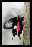 Papillorama (10)_1