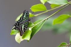 Papillorama (29)_1
