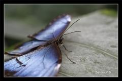 Papillorama (41)_1