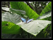 Papillorama (50)_1