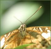 Papillorama (53)_1